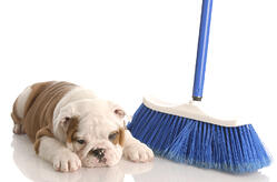 bigstock-Bulldog-Puppy-With-Broom-6572804